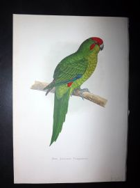 Greene Parrots in Captivity 1887 HC Bird Print. New Zealand Parakeet